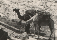 Nomads' camels