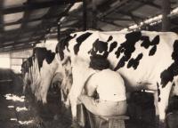 Hana při práci v kravíně