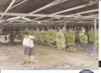 Banana plantations in Columbia