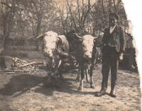 Franjica's husband Franja with cows; village Drlez, municipality of Badijevina, Croatia