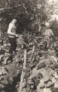 Grape harvest, Sremska Kamenica, arround 1980