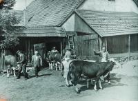 Livestock cattle from a private farm in Dolní Dobrouč into a cow farm in JZD in about 1960